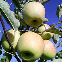 Яблуня. Яблоня.